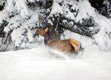 χιόνι αλκών που τρομάζει Στοκ Εικόνες
