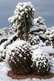 χιόνι κάκτων Στοκ Φωτογραφία