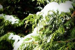 Χιόνι και πτώσεις στους κωνοφόρους κλάδους το χειμώνα Χιόνι σε έναν κλάδο του παρθένου ιουνιπέρου στοκ φωτογραφίες