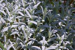 Χιόνι--καλοκαίρι, εγκαταστάσεις tomentosum Cerastium, άσπρο υπόβαθρο λουλουδιών στοκ φωτογραφία με δικαίωμα ελεύθερης χρήσης