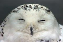 χιόνι κουκουβαγιών Στοκ Φωτογραφίες