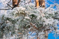 Χιόνι κρυστάλλου στις βελόνες πεύκων Στοκ φωτογραφίες με δικαίωμα ελεύθερης χρήσης