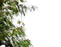 χιόνι κωνοφόρων στοκ εικόνα με δικαίωμα ελεύθερης χρήσης