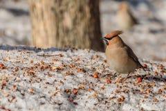 Χιόνι μήλων πουλιών Waxwing Στοκ Εικόνες