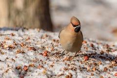 Χιόνι μήλων πουλιών Waxwing Στοκ φωτογραφία με δικαίωμα ελεύθερης χρήσης
