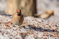 Χιόνι μήλων πουλιών Waxwing Στοκ φωτογραφίες με δικαίωμα ελεύθερης χρήσης