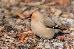 Χιόνι μήλων πουλιών Waxwing Στοκ Φωτογραφίες
