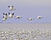 χιόνι μετανάστευσης χήνων Στοκ Φωτογραφία