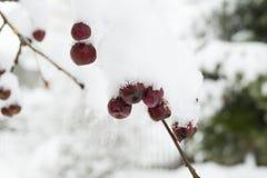 χιόνι μούρων κάτω Στοκ φωτογραφία με δικαίωμα ελεύθερης χρήσης
