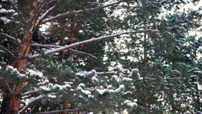 χιόνι πεύκων κλάδων απόθεμα βίντεο