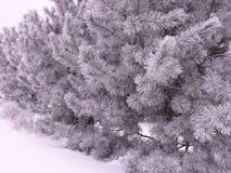 χιόνι πεύκων στοκ φωτογραφίες