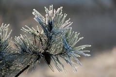 χιόνι πεύκων Στοκ φωτογραφία με δικαίωμα ελεύθερης χρήσης