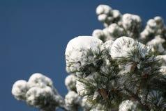 χιόνι πεύκων Στοκ Εικόνες