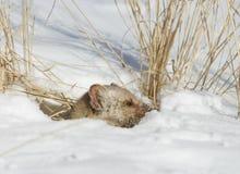 χιόνι πεύκων Martin Στοκ φωτογραφία με δικαίωμα ελεύθερης χρήσης