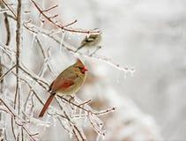 χιόνι πουλιών στοκ εικόνες