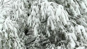 Χιόνι που αποτυγχάνει στο δέντρο φιλμ μικρού μήκους