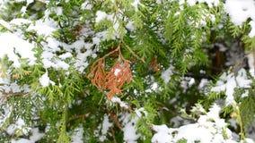 Χιόνι που αφορά τον πράσινο και καφετή κλάδο δέντρων thuja απόθεμα βίντεο