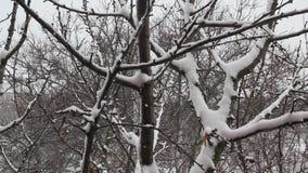 Χιόνι που αφορά τους κλάδους δέντρων απόθεμα βίντεο