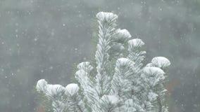 Χιόνι που αφορά τους κλάδους πεύκων με ένα ελαφρύ ξεσκόνισμα του χιονιού φιλμ μικρού μήκους