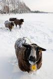 χιόνι προβάτων Στοκ φωτογραφία με δικαίωμα ελεύθερης χρήσης