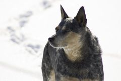 χιόνι σκυλιών στοκ εικόνα
