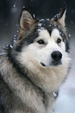 χιόνι σκυλιών στοκ εικόνες
