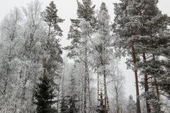Χιόνι στα δέντρα στο δάσος στο χειμώνα Στοκ φωτογραφία με δικαίωμα ελεύθερης χρήσης