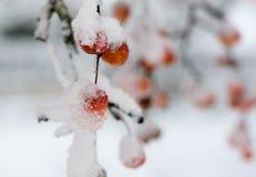 Χιόνι στα κόκκινα μούρα Στοκ φωτογραφίες με δικαίωμα ελεύθερης χρήσης