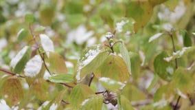 Χιόνι στα πράσινα φύλλα των θάμνων απόθεμα βίντεο