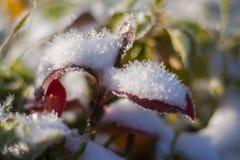 Χιόνι στα φύλλα Στοκ Εικόνες