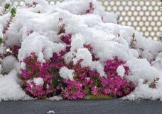 Χιόνι στην άνθηση Erica στοκ φωτογραφία με δικαίωμα ελεύθερης χρήσης