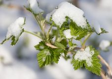 Χιόνι στην άνοιξη φύλλων σμέουρων Στοκ Φωτογραφίες