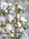 Χιόνι στην άνοιξη φύλλων σμέουρων Στοκ Εικόνες