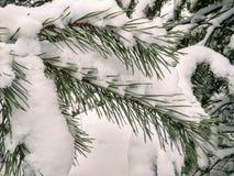 Χιόνι στις βελόνες του πεύκου στοκ φωτογραφία με δικαίωμα ελεύθερης χρήσης