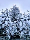 Χιόνι στις βελόνες του πεύκου στοκ εικόνες με δικαίωμα ελεύθερης χρήσης