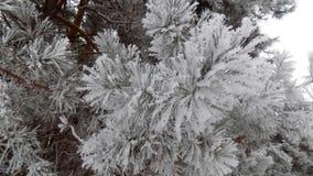 Χιόνι στον κλάδο όμορφο δάσος ανασκόπησης 33c ural χειμώνας θερμοκρασίας της Ρωσίας τοπίων Ιανουαρίου Στοκ Φωτογραφία
