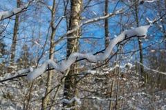 Χιόνι στον κλάδο που μοιάζει με το φίδι Στοκ Εικόνες