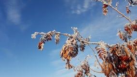 Χιόνι στους κλάδους δέντρων Χειμερινή άποψη των δέντρων που καλύπτονται με το χιόνι Η δριμύτητα των κλάδων κάτω από το χιόνι χιον Στοκ Εικόνα