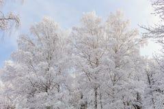 Χιόνι στους κλάδους δέντρων Χειμερινή άποψη των δέντρων που καλύπτονται με το χιόνι Η δριμύτητα των κλάδων κάτω από το χιόνι Στοκ Φωτογραφία