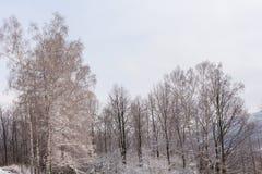 Χιόνι στους κλάδους δέντρων Χειμερινή άποψη των δέντρων που καλύπτονται με το χιόνι Η δριμύτητα των κλάδων κάτω από το χιόνι Στοκ εικόνα με δικαίωμα ελεύθερης χρήσης