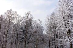 Χιόνι στους κλάδους δέντρων Χειμερινή άποψη των δέντρων που καλύπτονται με το χιόνι Η δριμύτητα των κλάδων κάτω από το χιόνι Στοκ Εικόνα