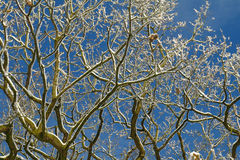 Χιόνι στους κλάδους με το υπόβαθρο μπλε ουρανού Στοκ Φωτογραφίες