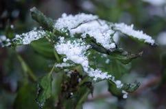Χιόνι στο πράσινο φύλλο Snowflakes κινηματογράφηση σε πρώτο πλάνο Στοκ φωτογραφία με δικαίωμα ελεύθερης χρήσης