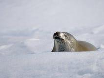 χιόνι σφραγίδων Στοκ φωτογραφία με δικαίωμα ελεύθερης χρήσης