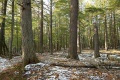 Χιόνι του πρώτου χειμώνα σε ένα δάσος του Μίτσιγκαν Στοκ Εικόνα