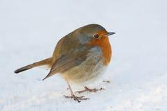 χιόνι του Robin Στοκ εικόνες με δικαίωμα ελεύθερης χρήσης