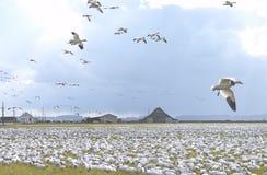 χιόνι χήνων κοπαδιών Στοκ Εικόνες