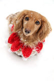 Χιόνι Χριστουγέννων dachshund στοκ φωτογραφία με δικαίωμα ελεύθερης χρήσης