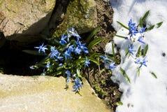 χιόνι bellflowers Στοκ Εικόνες