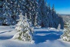 Χιόνι fir-trees Στοκ Εικόνα